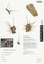 Opuntia subulata image