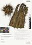 Pachycereus pecten-aboriginum (Engelm. ex S. Watson) Britton & Rose, Mexico, J. I. Calzada 8496, F