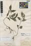 Blechum killipii Leonard, JAMAICA, W. R. Maxon 82, Holotype, F