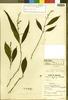 Cosmianthemum subglabrum Bremek., Malaysia, W. M. A. Brooke 9679, Isotype, F