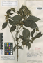 Dicliptera pyrrantha Leonard, VENEZUELA, J. A. Steyermark 61107, Isotype, F