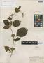 Mendoncia glomerata Leonard, COLOMBIA, G. Klug 1710, Isotype, F