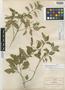 Ruellia fruticosa image