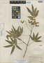 Acer pentaphyllum Diels, CHINA, J. F. Rock 17819, Isotype, F