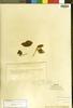 Achyranthes ingramiana Standl., Trinidad and Tobago, W. E. Broadway 4902, Isotype, F