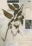 Chamissoa altissima var. rubella Suess., BOLIVIA, J. Steinbach 9047, Isolectotype, F