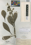 Mangifera verticillata C. B. Rob., Philippines, A. D. E. Elmer 13258, Isotype, F