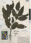 Guatteria foliosa Benth., BRITISH GUIANA [Guyana], R. H. Schomburgk 995, Isotype, F