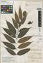 Guatteria sandwithii R. E. Fr., BRITISH GUIANA [Guyana], N. Y. Sandwith 1578, Isotype, F