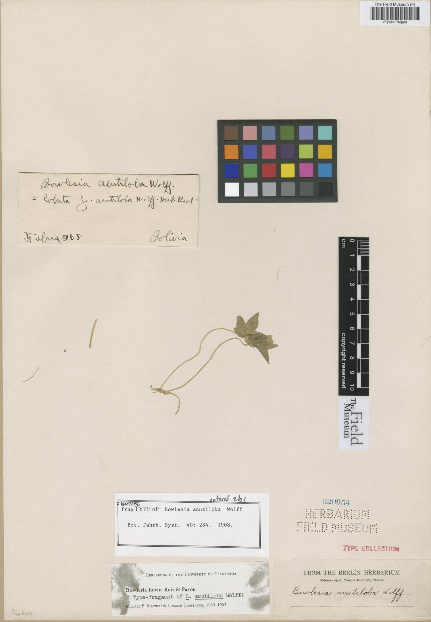 Bowlesia acutiloba image