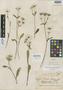 Eryngium calaster image