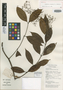 Anodendron seramense D. J. Middleton, Indonesia, J. S. Burley 4397, Isotype, F