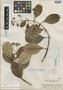 Chilocarpus obtusifolius Merr., Indonesia, H. H. Bartlett 7349, Isotype, F