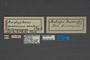 95052 Amplypterus gannascus dentoni PT labels IN