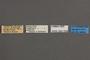 95058 Callipielus perforata PT labels IN