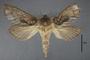 95058 Callipielus perforata PT d IN