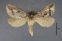 95059 Callipielus vulgaris PT d IN