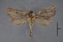 95060 Dalaca quadricornis PT d IN