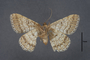 95075 Macaria aucillaria HT v IN