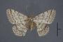 95075 Macaria aucillaria HT d IN