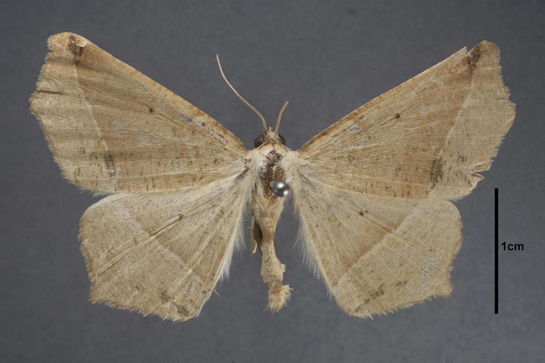 Image of Antepione indiscretata
