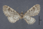 95084 Eupithecia laisata HT v IN