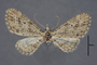 95084 Eupithecia laisata HT d IN