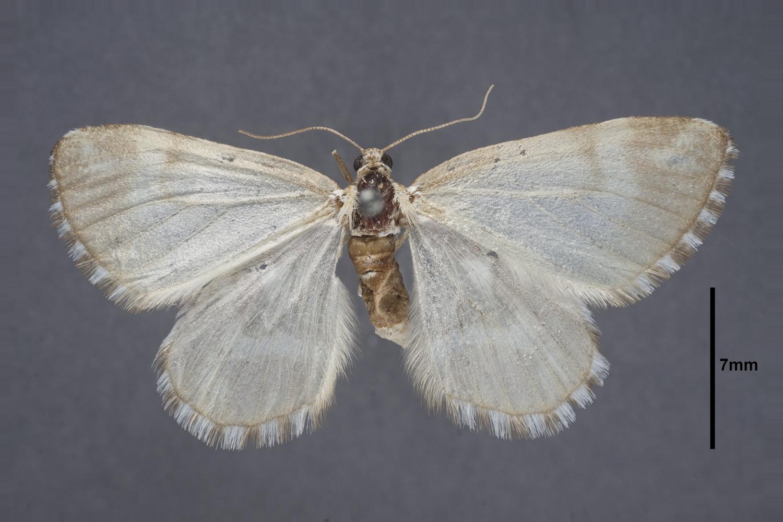 Image of Stamnodes formosata