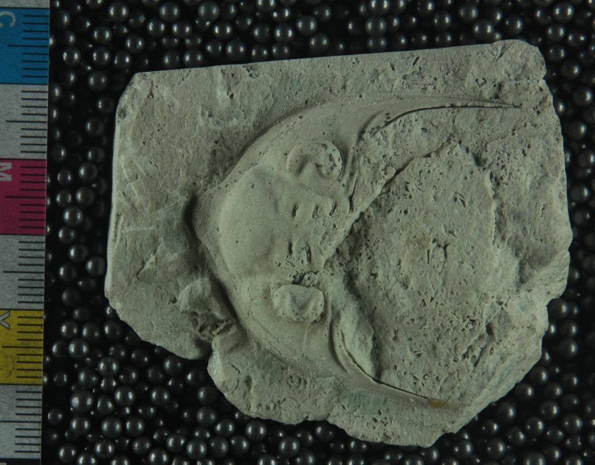 Species: Dalmanites platycaudatus Weller