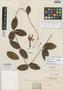 Echites elegans Benth., BRITISH GUIANA [Guyana], Schomburgk 965, Isotype, F