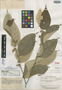 Geissospermum argenteum Woodson, GUYANA, A. C. Smith 2559, Isotype, F