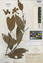 Kibatalia merrilliana Woodson, PHILIPPINES, C. A. Wenzel 330, Isotype, F