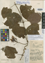 Mandevilla callista Woodson, COLOMBIA, A. E. Lawrance 710, Holotype, F