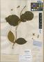 Prestonia latifolia Benth., BRITISH GUIANA [Guyana], Schomburgk 755, Isolectotype, F