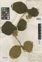 Prestonia latifolia Benth., BRAZIL, P. C. D. Clausen 367, Type [status unknown], F
