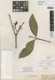 Tabernaemontana longifolia Benth., BRITISH GUIANA [Guyana], R. H. Schomburgk 292, Isolectotype, F