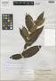 Tabernaemontana cordata Merr., Philippines, C. M. Weber 1125, Isotype, F