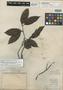 Thenardia laurifolia Benth., BRITISH GUIANA [Guyana], Schomburgk 953, Isotype, F
