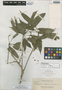 Schefflera albido-bracteata Elmer, Philippines, A. D. E. Elmer 13808, Isosyntype, F