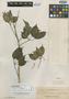 Schefflera bulusanensis Elmer, Philippines, A. D. E. Elmer 17130, Isotype, F