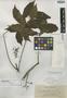 Schefflera catensis Elmer, Philippines, A. D. E. Elmer 11519, Isotype, F