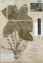 Schefflera clementis Merr., Philippines, M. S. Clemens s.n., Syntype, F