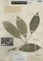 Schefflera filipes Merr., A. D. E. Elmer 21445, Isotype, F