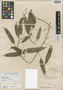 Schefflera simplicifolia Merr., Philippines, M. S. Clemens 1143, Syntype, F