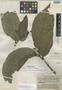 Apama hainanensis Merr. & Chun, China, N. K. Chun 43437, Isotype, F