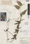 Aristolochia peltato-deltoidea Hoehne, BRITISH GUIANA [Guyana], A. C. Smith 3385, Type [status unknown], F