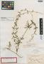Metastelma inaguense Vail, Bahamas, G. V. Nash 913, Isotype, F