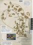 Polystemma cordifolium image