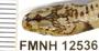 FMNH12536
