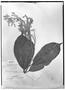 Field Museum photo negatives collection; Genève specimen of Erisma uncinatum Warm., PERU, E. F. Poeppig 2633, Isolectotype, G